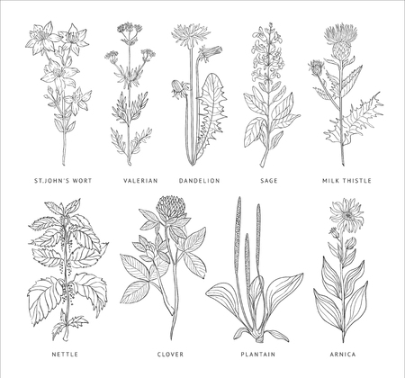 Illustration for Medical Herbs Vector Set. Hannd drawn Monochrome Style - Royalty Free Image