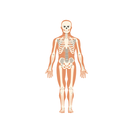 Illustration pour Human skeletal system, anatomy of human body vector Illustration isolated on a white background. - image libre de droit