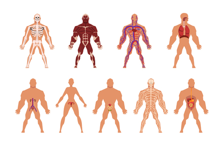 Illustration pour Different human organ system set, muscular, circulatory, respiratory, nervous, digestive, excretory, sexual systems vector Illustrations isolated on a white background. - image libre de droit