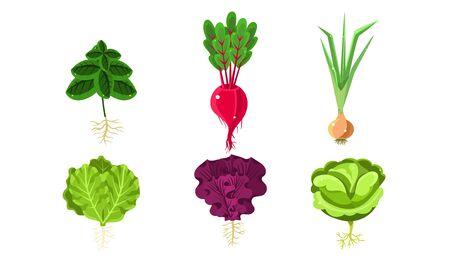 Illustration pour Vegetables With Leaves and Roots Set, Lettuce, Beetroot, Onion, Cabbage, Radish Vector Illustration - image libre de droit
