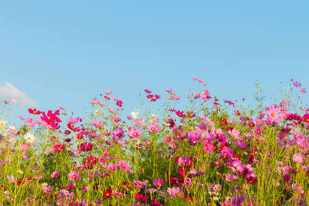Photo for Beautiful cosmos flowers blooming in garden - Royalty Free Image