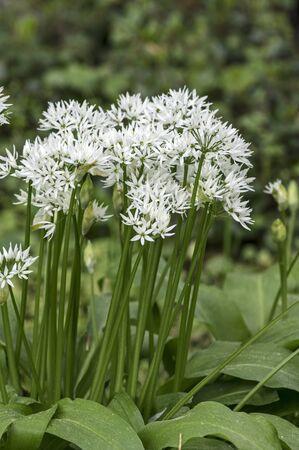 Wild garlic with white blossom