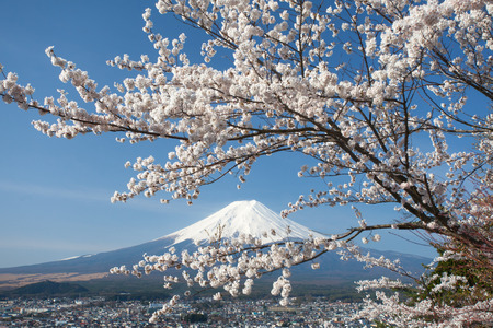 Mountain Fuji and cherry blossom sakura in spring seasonの写真素材
