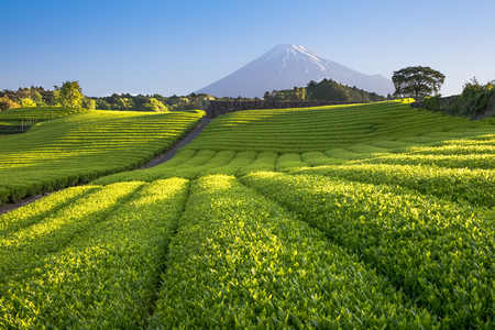 Photo for Tea farm and Mount Fuji in spring at Shizuoka prefecture - Royalty Free Image
