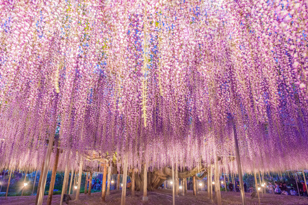 Photo for 150 years old Great Wisteria at night - Royalty Free Image