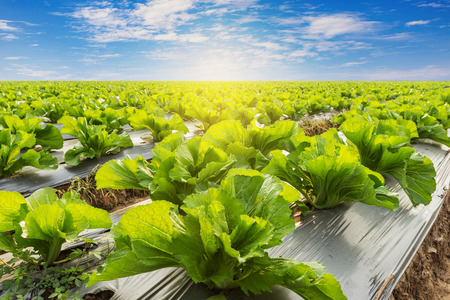 Photo for Green lettuce on field agricuture with blue sky - Royalty Free Image