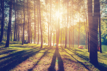 Photo pour larch forest with sunlight and shadows at sunrise with vintage scene. - image libre de droit