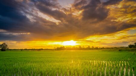 Photo pour Panorama natural scenic beautiful sunset and rice field agricultural background - image libre de droit