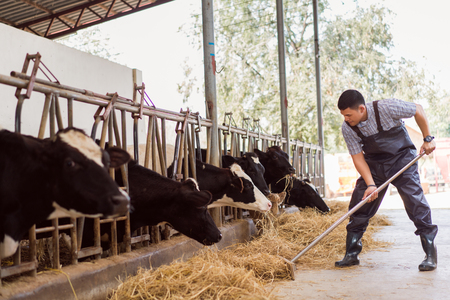 Farmer is feeding the cows. Cow eating grass