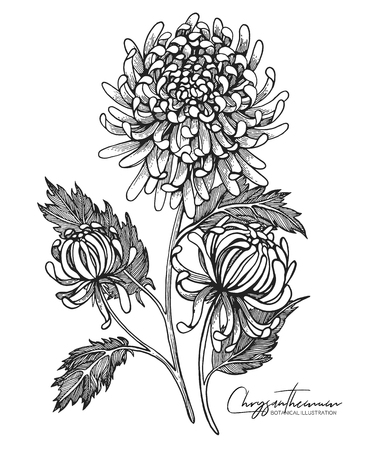 Illustration pour Engraved hand drawn illustrations of chrysanthemum. All element isolated. Design elements for wedding invitations, greeting cards, wrapping paper, cosmetics packaging, labels, tags, quotes, posters. - image libre de droit