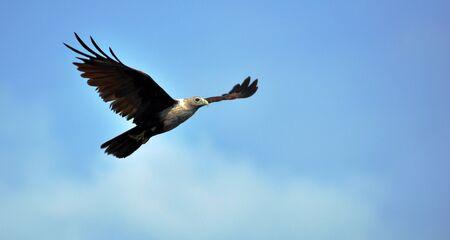 Photo pour Eagle soaring high in the blue sky - image libre de droit