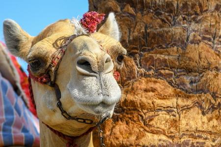 Photo pour Head of dromedary domesticated riding camel tied up with metal chain - image libre de droit