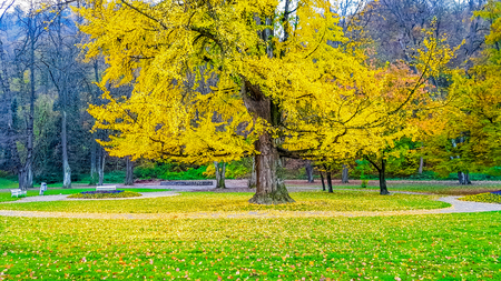 Photo pour Colorful tree in the park losing yellow leaves in autumn - image libre de droit