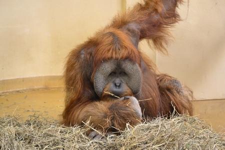 Orangutan snacking looking at camera.