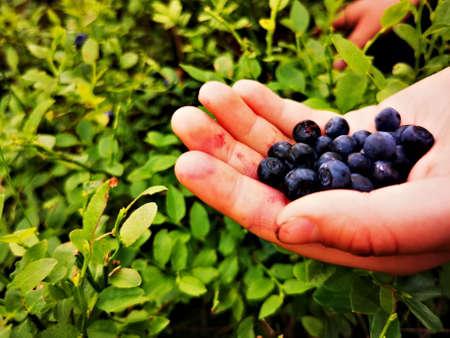 Foto für Blueberry (Vaccinium myrtillus). Blueberry fruit on hand. - Lizenzfreies Bild
