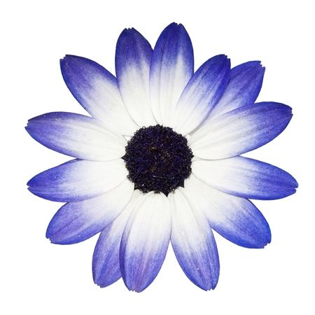 Osteospermum - Beautiful Blue and White Daisy Flower Head top view