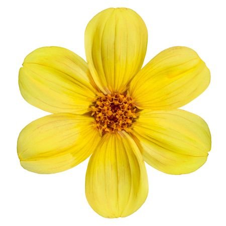 Six Fresh Petals of Beautiful Yellow Dahlia Flower Isolated on White Background