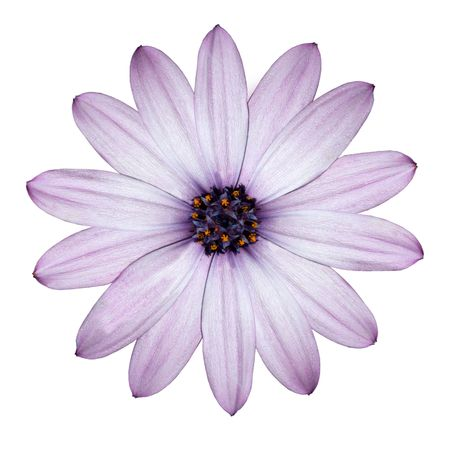 Photo for Beautiful Light Purple Daisy - Blossoming Osteospermum - Flower Head top view isolated on white background - Royalty Free Image
