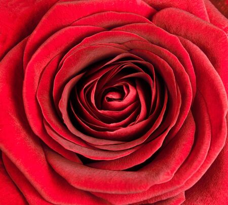 Closeup on Center of Beautiful Red Rose. Perfect Macro on Beautiful Big Rose Flowerhead