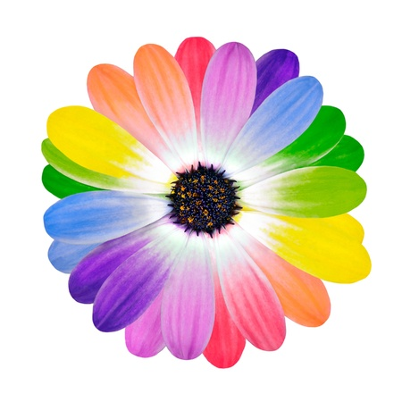 Foto de Rainbow Flower Multi Colored Petals of Daisy Flower Isolated on White Background. Range of Happy Multi Colours. - Imagen libre de derechos