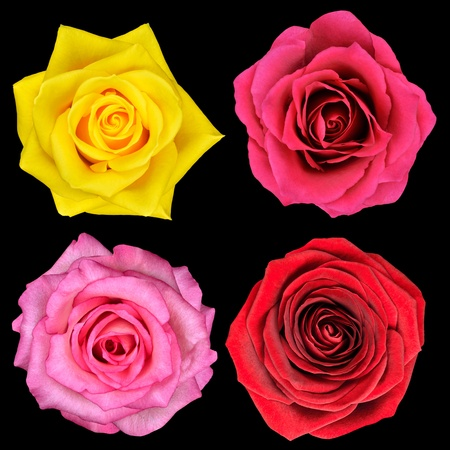 Four Perfect Rose Flower Isolated on Black Background