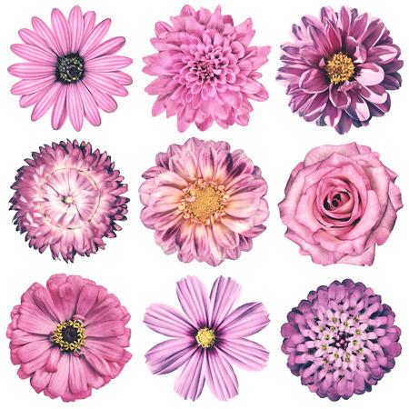 Selection of Various Flowers in Pink Vintage Retro Style Isolated on White Background. Daisy, Chrystanthemum, Cornflower, Dahlia, Iberis, Primrose, Gerbera, Rose.