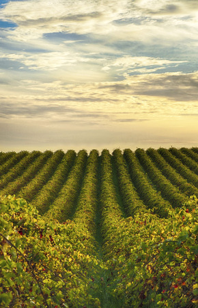 Rows of vines at McLaren Vale vineyard in the late afternoon