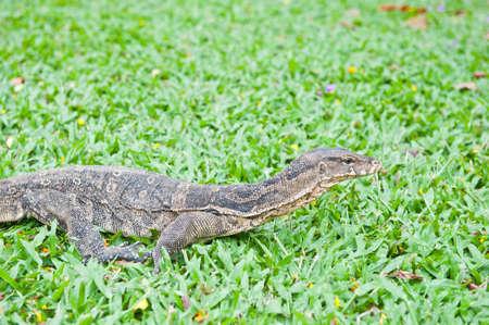 a banded monitor lizard on grass (varanus salvator)