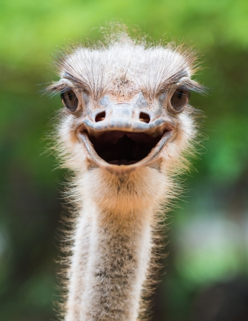 Photo pour Ostrich head closeup - image libre de droit
