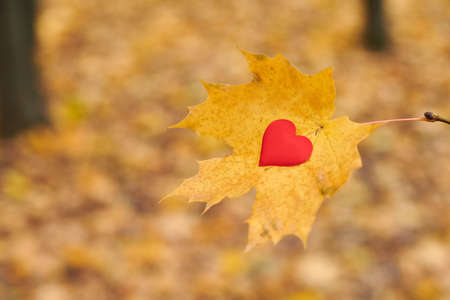 Open pure heart concept, copy space. Heart on maple leaf. Unrequited, one-sided love or loneliness symbol. Unrequited love victim of Valentine day. Beautiful autumn background.