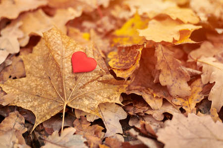 Heart on maple leaf. Infatuation or loneliness concept. Open pure heart symbol, copy space. Unrequited love victim of Valentine day. Beautiful autumn background