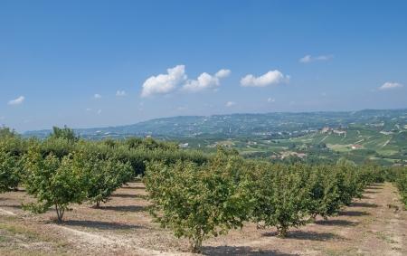 Landscape in Piedmont near Asti with Hazelnut plantation,Italy