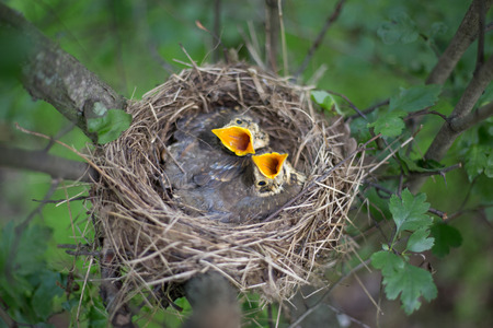 Life nest with chicks in the wild.
