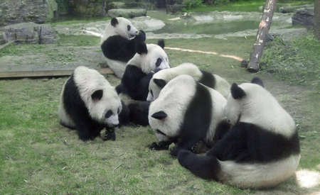 Pandas in the Zoo of Beijing,China,having their lunch on the ground.