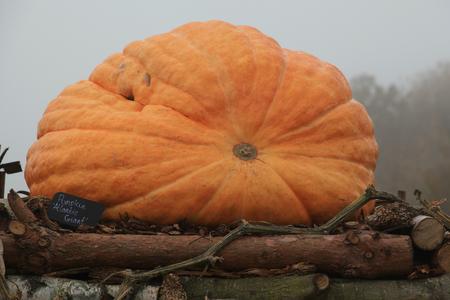 Atlantic Giant pumpkin at RHS Hyde Hall, Essex, England