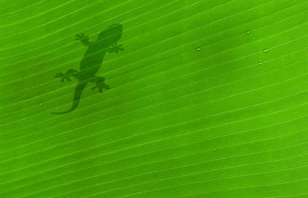 shadow of a fly on banana tree leaf