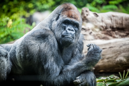 silverback big male gorilla looking at camera