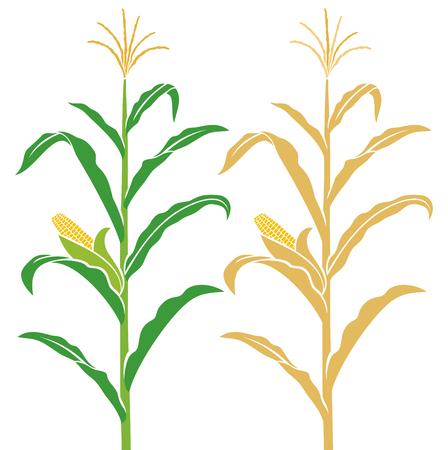 Illustration for Corn stalk vector illustration. - Royalty Free Image