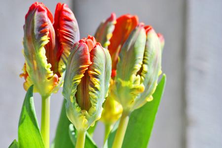 beautiful strange tulip