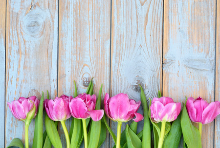 Row bunch of pink tulips on old gray blue gray wooden background with empty space