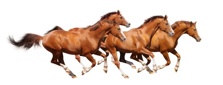 Four sorrel horses gallop - isolated on white