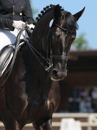 Photo pour Dressage: portrait of black horse on nature background - image libre de droit