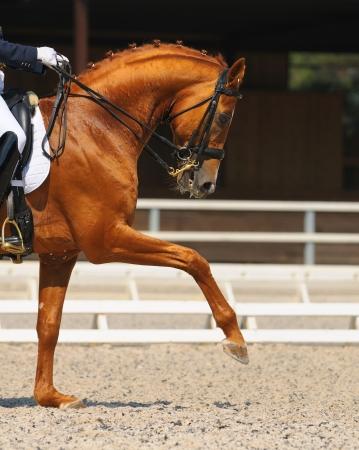 Dressage: portrait of sorrel horse on nature background