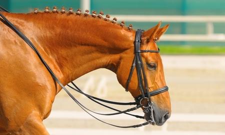 Photo pour Equestrian sport - dressage / head of sorrel horse - image libre de droit