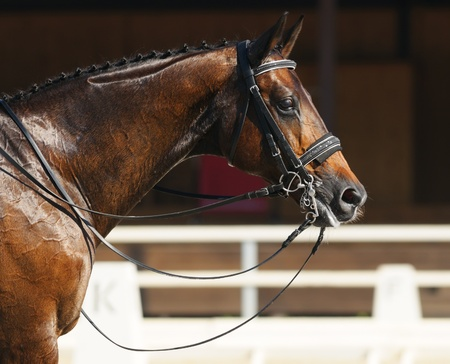 Photo for Equestrian sport - dressage / head of bay horse - Royalty Free Image