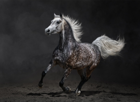 Gray arabian mare gallops on dark background