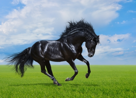 Black stallion gallops on green field