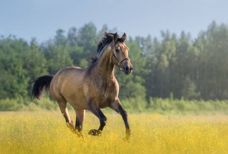Photo pour Golden bay Andalusian horse galloping across summer blooming meadow. Beautiful rural landscape. - image libre de droit
