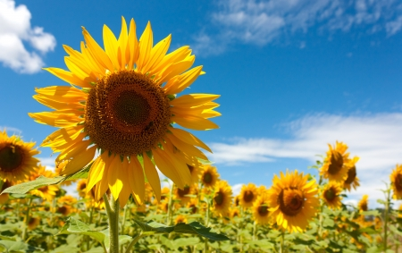 field of sunflowers under a July sun