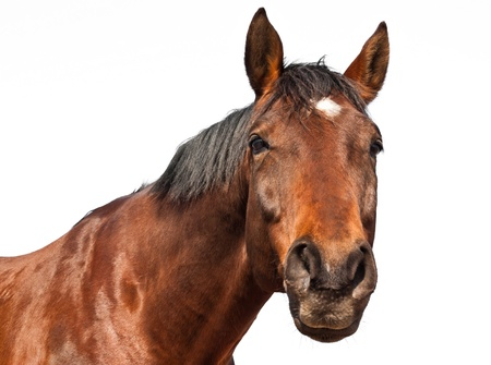 Portrait of a brown horse isolated on white background